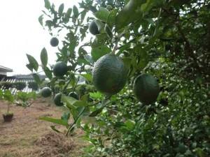 庭のレモンの木 2014-09 1