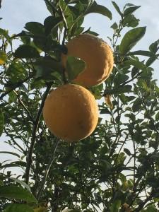 やみつきレモン鍋 2016-02 5